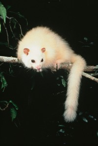 White Lemuroid Ringtail Photo: Mike Trenerry