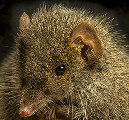 Black-tailed Antechinus, Antechinus arktos. Photo: Gary Cranitch (Queensland Museum)