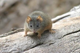 Yellow-footed antechinus